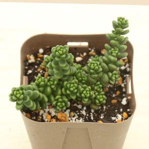 多肉植物 セダム 白花タイトゴメ 7.5cmポット苗
