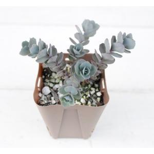 独特な色のミセバヤです。 寄せ植えのアクセントなどにお使いいただけます。  サイズ:2.5寸鉢 ※写...