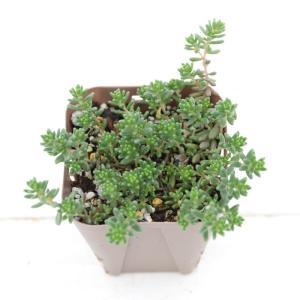 多肉植物 セダム コーラルカーペット(六条万年草) 7.5c...