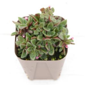 多肉植物 クラッスラ クーペリー 7.5cmポット苗 honeymint