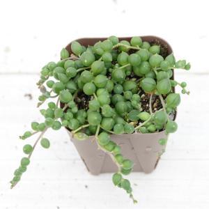 ネックレスのようにどんどん伸びてかわいらしい植物です。 垂らすように植えるとなんとも言えない美しさが...