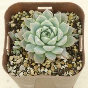 肉厚でとても可愛い多肉植物です。  セダムの寄せ植えに、また多肉植物の寄せ植えにも最適です!  サイ...