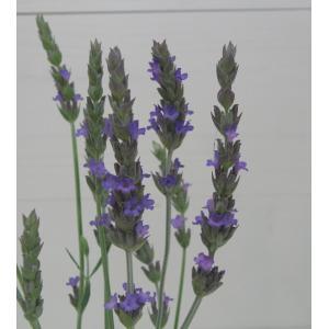 【当店農場生産】ラバンディンラベンダー 9センチポット苗 宿根草 寒さに強いラベンダーです☆|honeymint