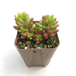葉の下の方が赤く、綺麗な葉が特徴です。 セダムの寄せ植えに、また多肉植物の寄せ植えにも最適です!  ...