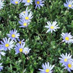 宿根草でどんどん大きくなるブルーデージーです。 寒さには強く、花壇でも冬越しもします。 夏なども刈り...