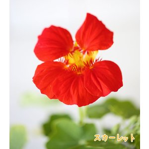 【当店農場生産】ナスタチウム(キンレンカ) スカーレット(朱色) 9cmポット苗 サラダなど食用としても使えます☆ honeymint