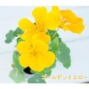 【当店農場生産】ナスタチウム(キンレンカ) ゴールデンイエロー(黄色) 9cmポット苗 サラダなど食用としても使えます☆ honeymint