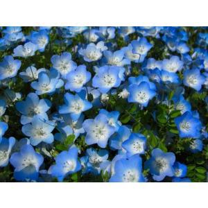 【当店農場生産】ネモフィラ ブルー 9cmポット苗 寒さに強い!可愛いお花です♪