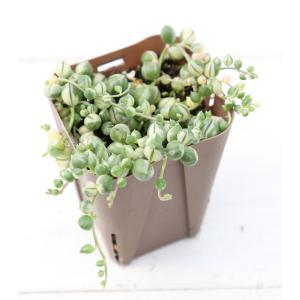 多肉植物 斑入グリーンネックレス 7.5cmポット苗 honeymint