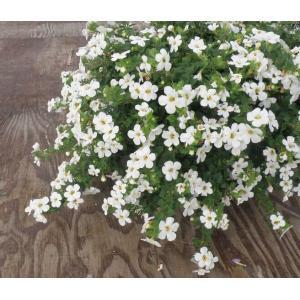 【当店農場生産】バコパコピア ダイナミックホワイト 9センチポット苗 宿根草でどんどん大きくなります♪