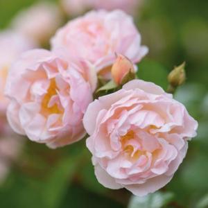 イングリッシュローズ苗 ザ・レディ・オブ・ザ・レイク 鉢植え(6号鉢) 2年大苗 デビッドオースチンロージズ正規品|honeymint