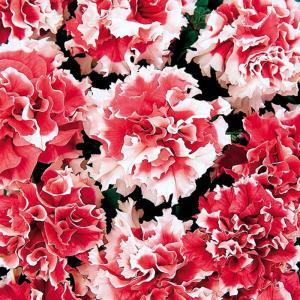【当店農場生産】八重咲きペチュニア ピロエット レッド(花なし苗) 9cmポット苗 毎年咲く強いペチュニア!耐寒性宿根草♪|honeymint