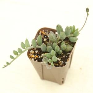 多肉植物 アーモンドネックレス 7.5cmポット苗 honeymint