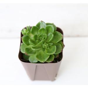 多肉植物 レディジア(セデベリア属) 7.5cmポット苗 honeymint