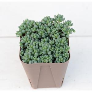 多肉植物 ダシフィルムリファレンス 7.5cmポット苗 honeymint