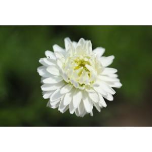 【当店農場生産】ハーブ 八重咲きローマンカモミール苗 9センチポット苗 お料理に♪|honeymint
