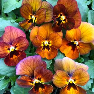 【100円均一】ビオラ ももか ゆうやけ 9cmポット苗 花壇や寄せ植えに♪