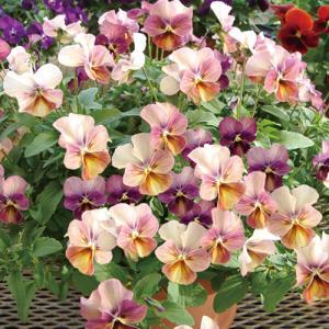 【100円均一】ビオラ なごみももか しんしん 9cmポット苗 花壇や寄せ植えに♪