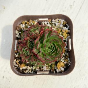 多肉植物 ロスラリア プラティフィラ 7.5cmポット苗 honeymint