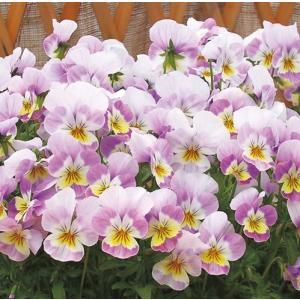 【100円均一】ビオラ なごみももか かんかん 9cmポット苗 花壇や寄せ植えに♪