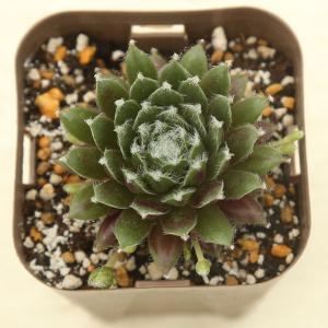 多肉植物 センペルビウム 赤巻絹 7.5cmポット苗 honeymint