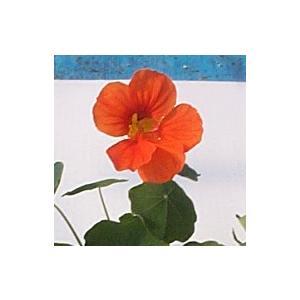 【当店農場生産】ナスタチウム(キンレンカ) タンジェリン(オレンジ) 9cmポット苗 サラダなど食用としても使えます☆ honeymint