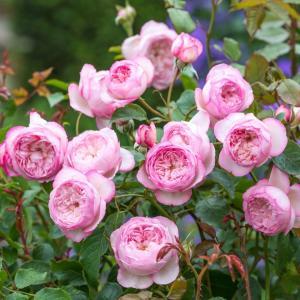☆特徴 優しくアーチを描く枝の上で咲き誇る美しく整った小ぶりのディープカップ咲きのバラです。 大きな...