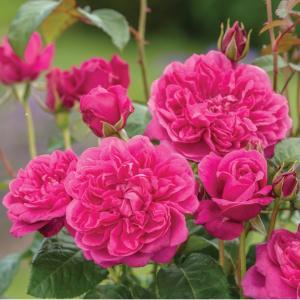 イングリッシュローズ苗 ジェームズ・L・オースチン 鉢植え(6号鉢) 2年大苗 デビッドオースチンロージズ正規品|honeymint