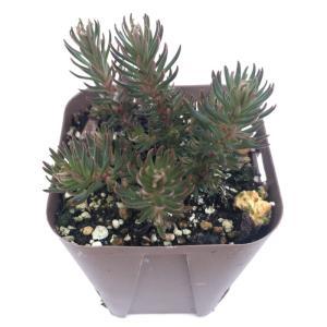松の葉のような形の多肉植物です。 季節により姿かたちが変化します。  サイズ:2.5寸鉢 ※写真は見...