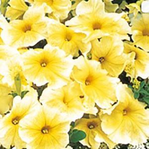 【当店農場生産】ペチュニア プリズムサンシャイン(花なし苗) 9cmポット苗|honeymint
