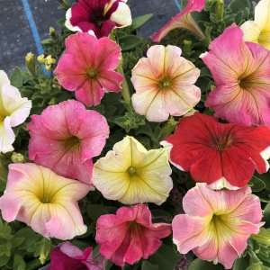【当店農場生産】ペチュニア ドルチェフランベ(花なし苗) 9cmポット苗|honeymint