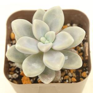 多肉植物 グラプトペタルム だるま秋麗(だるましゅうれい) 7.5cmポット苗 honeymint