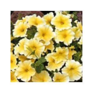 【当店農場生産】ペチュニア ドルチェ リモンチェロ(花なし苗) 9cmポット苗|honeymint