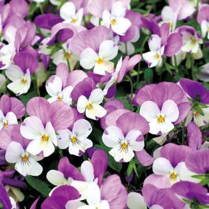 【100円均一】ビオラ ももか うさぎ 9cmポット苗 花壇や寄せ植えに♪