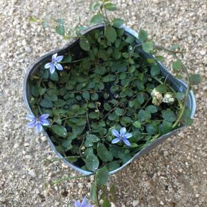 【当店農場生産】プラティア ブルー 9cmポット苗 宿根草