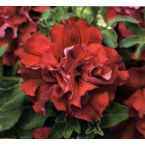 【当店農場生産】八重咲きペチュニア ダブルカスケード バレンタイン(花なし苗) 9cmポット苗 毎年咲く強いペチュニア!耐寒性宿根草♪|honeymint