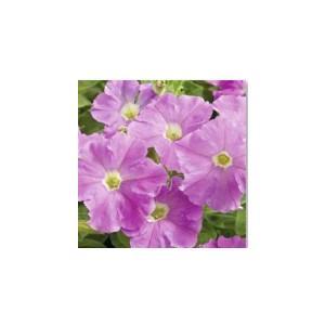 【当店農場生産】ペチュニア ピコベラ ライトラベンダー(花なし苗) 9cmポット苗 毎年咲く強いペチュニア!耐寒性宿根草♪ honeymint