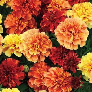 【当店農場生産】マリーゴールド ストロベリーブロンド 9cmポット苗 耐暑性|honeymint