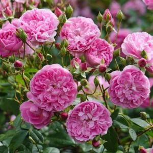 イングリッシュローズ苗 ハーロウ・カー 鉢植え(6号鉢) 2年大苗 デビッドオースチンロージズ正規品|honeymint