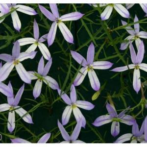 【当店農場生産】イソトマ ブルー&ホワイト 9cmポット苗 かわいい花が咲きます♪|honeymint