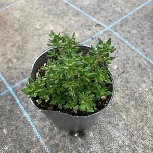 【当店農場生産】ローズタイム 9cmポット苗|honeymint