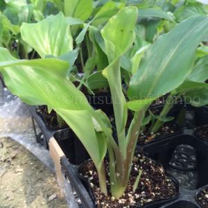 希少植物『黒ウコン』の苗の販売を開始しました! この商品は5本セットとなります。  ※本商品は産地直...