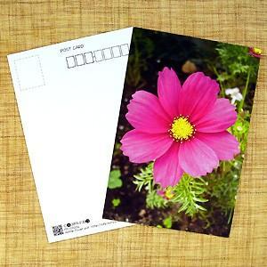 花のポストカード コスモス(ピンク)1 B|horiya-studio