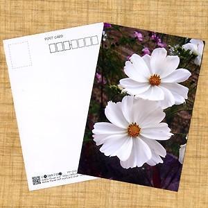 花のポストカード コスモス(白)|horiya-studio
