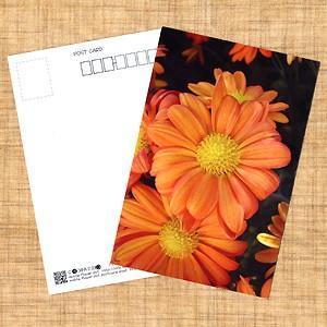 花のポストカード スプレーギク(オレンジ)B|horiya-studio