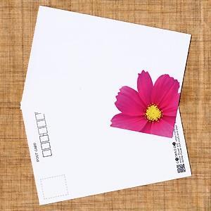 花のポストカード コスモス(ピンク、インクジェット紙)|horiya-studio
