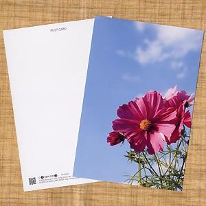 花のポストカード コスモス(ピンク)2|horiya-studio