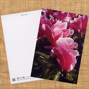 花のポストカード シクラメン(ピンク) B|horiya-studio