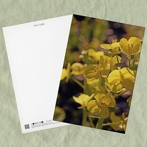 花のポストカード ナノハナ B horiya-studio