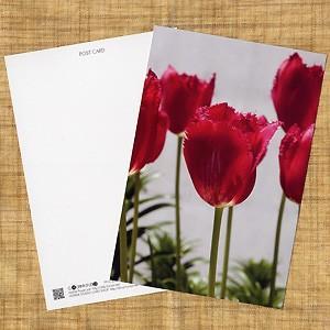 花のポストカード チューリップ(赤)|horiya-studio